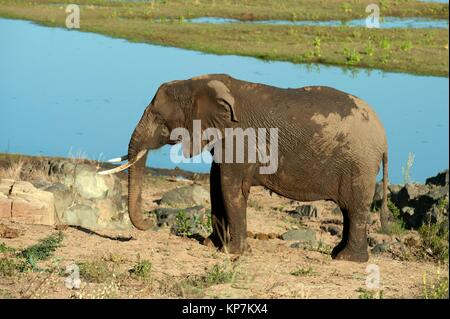Elephant (Loxodonta africana) covered in mud by river, Kruger National Park, Transvaal, South Africa. - Stock Photo