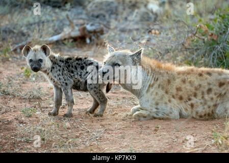 Spotted Hyena (Crocuta crocuta) aka Laughing Hyena lying on ground with juvenile, Kruger National Park, Transvaal, - Stock Photo