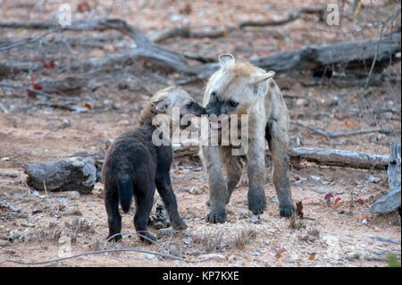Spotted Hyena (Crocuta crocuta) aka Laughing Hyena with young cub, Kruger National Park, Transvaal, South Africa. - Stock Photo