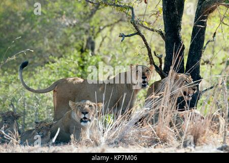 Female Lion (Panthera leo) standing up amongst pride and cubs, Kruger National Park, Transvaal, South Africa. - Stock Photo