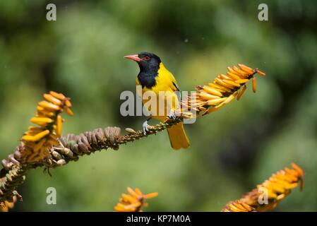 Blackheaded Oriole (Oriolus larvatus) on twig, Kruger National Park, Transvaal, South Africa. - Stock Photo