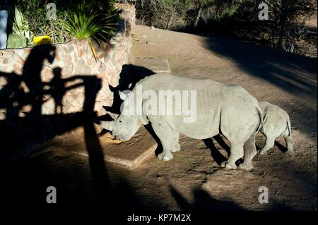 White Rhinocerous (Ceratotherium simum) with baby being fed with shadow of people, Ant's Nest Reserve, near Vaalwater, - Stock Photo