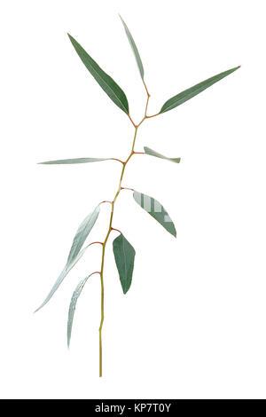 Eucalyptus twig with long leaf on white background - Stock Photo