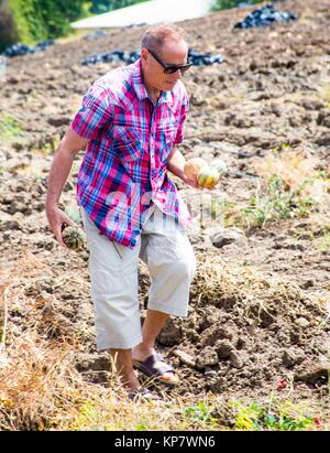 A caucasian older retired senior in his 60´s, 70´s in a cantaloupe farm picking the fruits. - Stock Photo