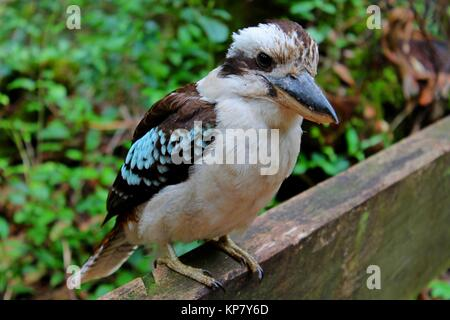 Kookaburra, Bird, Australia, Fraser Island, Queensland - Stock Photo