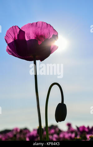 poppy in violet in sunlight