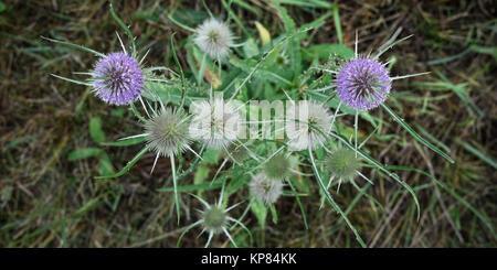 fuller's teasel flower in spring - Stock Photo