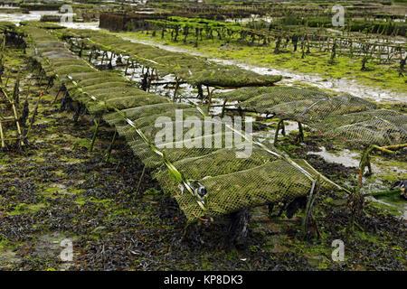 Austernzucht bei Cancale in der Bucht von Mont-Saint-Michel, Ärmelkanal, Département Ille-et-Vilaine, Bretagne, - Stock Photo