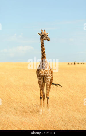 Giraffe in Masai Mara,Giraffe in Masai Mara,Giraffe in Masai Mara,Giraffe in Masai Mara - Stock Photo