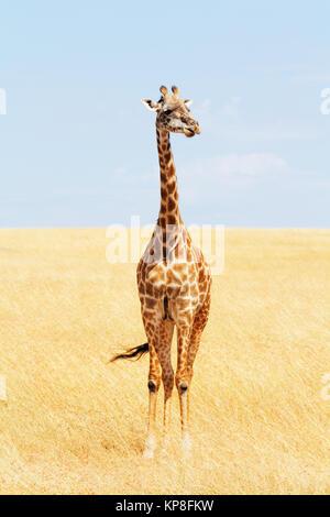 Giraffe in Masai Mara - Stock Photo