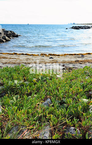 Edible Sea Purslane Growing Wild - Stock Photo