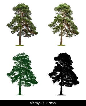 Baum in vier unterschiedlichen Illustrationstechniken -Alte Kiefer - Stock Photo