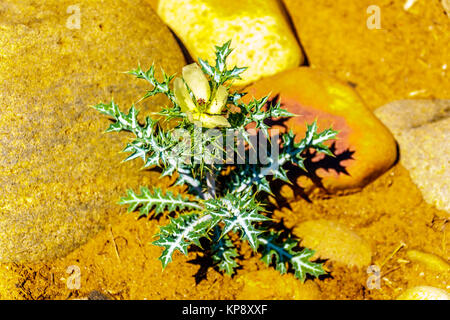 lowering Nettle Plant on the dry river bed of the Olifants River in Kruger National Park in South Africa - Stock Photo