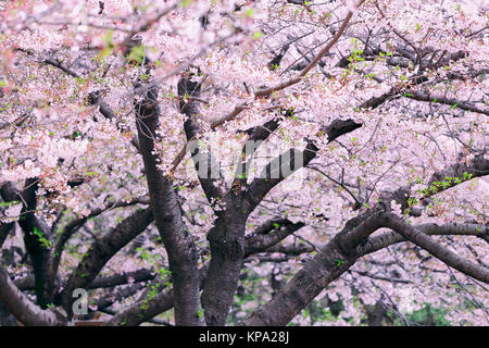 Beautiful cherry blossom sakura - Stock Photo