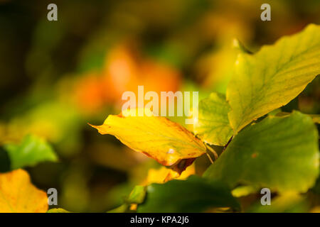 autumn colors butes foliage of beech - Stock Photo