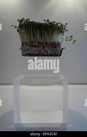 garden cress with plexiglass - Stock Photo