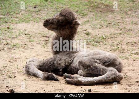 newborn camel - Stock Photo