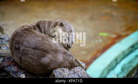 beaver is sleeping on the stone - Stock Photo