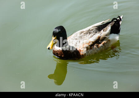 closeup photo of swimming duck in the pond - Stock Photo