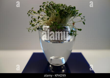 garden cress in a glass - Stock Photo