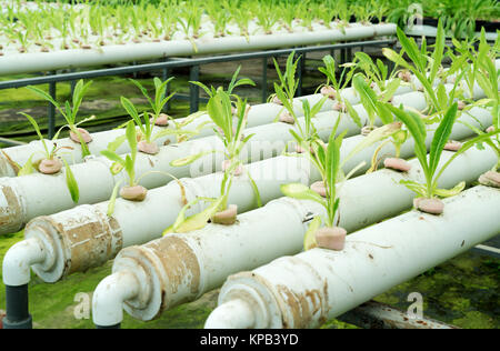 In the commercial greenhouse soilless cultivation of vegetables
