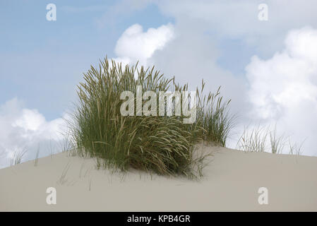 Beach grass on top of a dune - Stock Photo