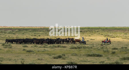 Two ranchers on 4-wheelers round up the cattle to be moved to a new pasture. - Stock Photo