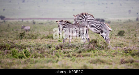 Two Grevy's zebras one mounting the other, open grassland in Lewa Wilderness,Lewa Conservancy, Kenya, Africa - Stock Photo
