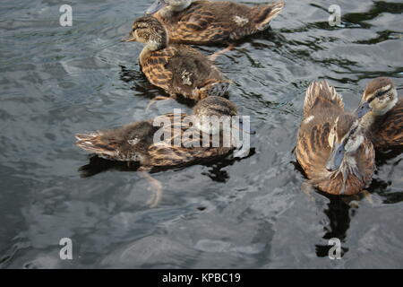 Ducks swimming in Saimaa. - Stock Photo