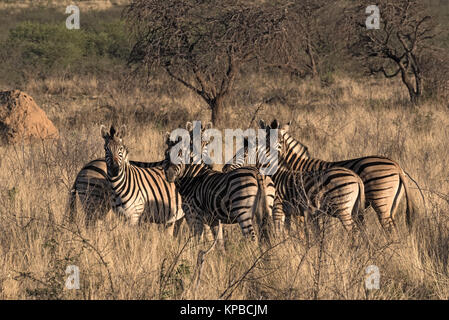 Small herd of zebras at the erongo mountains in Namibia - Stock Photo