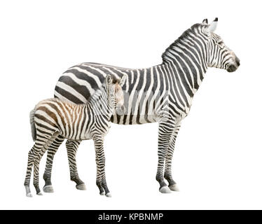 Zebra with foal cutout - Stock Photo