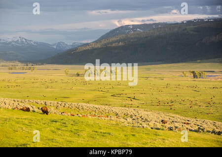American bison graze on the green grass in the Lamar Valley at the Yellowstone National Park June 5, 2016 in Wyoming. - Stock Photo