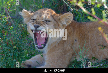 Kenya is a prime tourist destination in East Africa. Famous for wildlife and natural beauty. Lion cub yawnng - Stock Photo