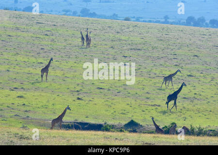 Kenya is a prime tourist destination in East Africa. Famous for wildlife and natural beauty. Giraffe family on grass - Stock Photo