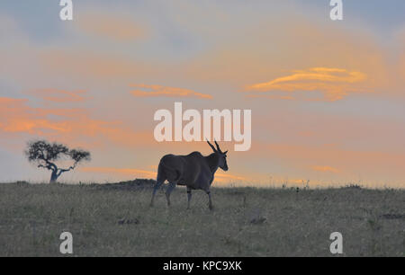 Kenya is a prime tourist destination in East Africa. Famous for wildlife and natural beauty. Eland at sunset - Stock Photo
