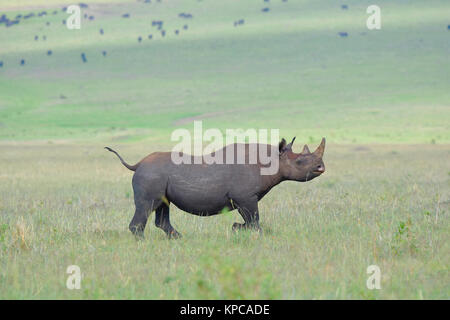 Kenya is a prime tourist destination in East Africa. Famous for wildlife and natural beauty. Black rhino - Stock Photo