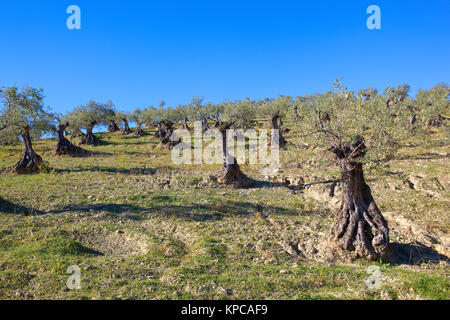 an old mature olive grove with twisted trunks on a hillside in andalucia spain under a blue sky - Stock Photo