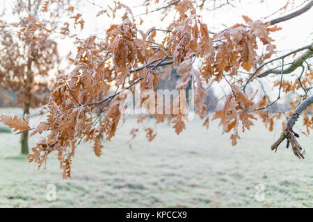 Frozen oak leaves on a tree in a park in Manchester on a cold frosty - Stock Photo