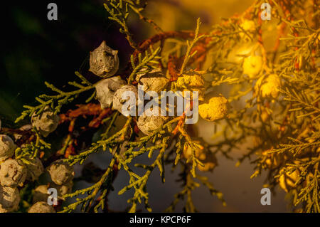 Female cones of a northern white cedar Thuja occidentalis . Brunch of thuya with cones. Thuja part of tree. Coniferous - Stock Photo