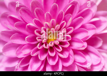 Soft Focus Chrysanthemum flower center, pink and purple, super macro closeup texture and pattern, petals showing - Stock Photo