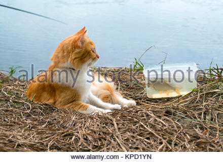 Ginger cat with caught fish on fishing time. - Stock Photo