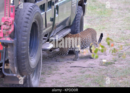 Wildlife in Maasai Mara, Kenya. Leopard hiding under safari vehicle - Stock Photo