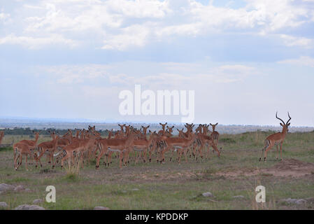 Wildlife in Maasai Mara, Kenya. Impala herd on skyline - Stock Photo
