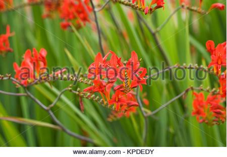 Crocosmia 'Lucifer' flowers. - Stock Photo