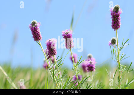 Wildflowers of Colorado - Purple Prairie Clover Flowers, Dalea purpurea.