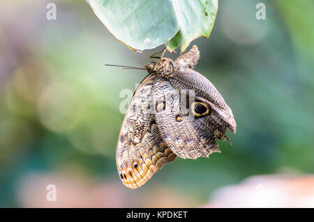 Owl Butterfly (Caligo eurilochus, Bananenfalter) hanging head down on a leaf - Stock Photo