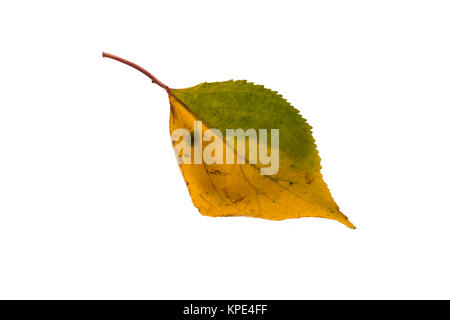 Yellow green leaf on isolated white background - Stock Photo