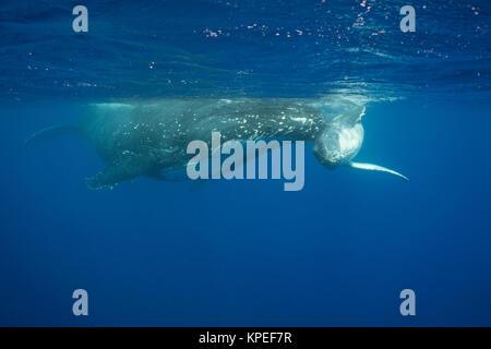 humpback whale, Megaptera novaeangliae, calf rubs playfully against mother's rostrum, Vava'u, Kingdom of Tonga, - Stock Photo