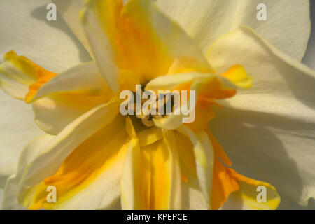 Narcissus 'Sorbet' - Stock Photo