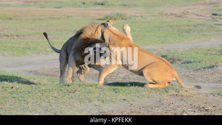 Wildlife sightseeing in one of the prime wildlife destinations on earht -- Serengeti, Tanzania. Fighting lions - Stock Photo
